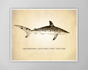 Tiger Shark Art Print, Shark Art Print, Shark Natural History Poster, Natural History Shark Scientific Print, Tiger Shark Art Print, Shark