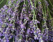 English Lavender Perennial Medicinal and Culinary Herb Most Fragrant Variety Water Wise Drought Tolerant Organically Grown Seeds