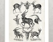 Deer Print Vintage animal print Natural History Book Plate Illustration