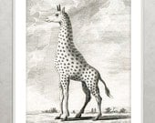 Giraffe Print Vintage animal print Natural History Book Plate Illustration Buffon 1700's