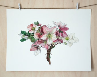 Hellebore | Original Drawing