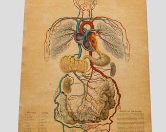 Antique 19th Century Anatomical Chart Yaggy's Blood Formation