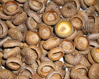 Acorn Caps (Lot) Natural
