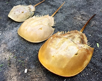 COLOSSAL Horseshoe Crab Shell Fully Intact. A Massive 21 inches Long. BIGGEST I've Ever Seen