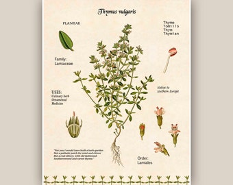 Cooking Herb print, Herb Thyme art, Kitchen art,Thyme digital herbarium sheet, botanicals, educational poster, Food decor,dining room decor