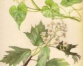 1910s Antique black bryony flower art print, printed 1970, woodlands flowers 82  floral bookplate prints, botanical flower art illustration