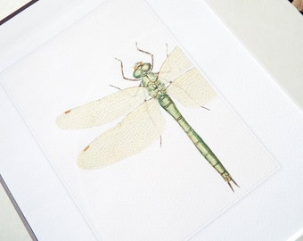 Short Pale Green Dragonfly Art Naturalist Study Archival Print