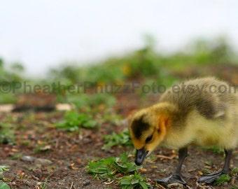 Canadian Goose Gosling Wildlife Photography Fine Art Nature Print, Bird Photo, Pacific Northwest Home Decor, Children Nursery Wall Art