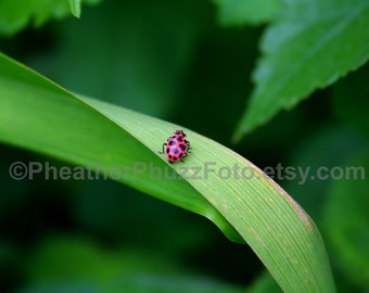Spotted Ladybug Wildlife Photography Fine Art Nature Print, Insect Photo, Pacific Northwest Home Decor, Children Nursery Wall Art