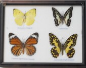 REAL 4 BUTTERFLY Wall Decor For Education Collectible Taxidermy Framed / BTF04u