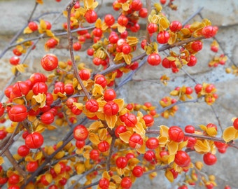Large Bunch of Real Bittersweet Vine and Branches Swag Fall Halloween Autumn Thanksgiving Natural Table Decor Yellow Orange Berries