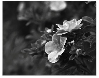 Wild Rose Blooms Black and White Macro Nature Photography