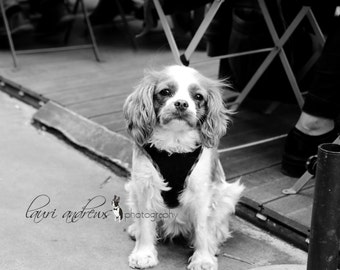 Paris France Fine Art Photography Dogs of Paris Home Decor Black and White King Charles