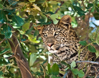 Leopards. Wildlife Images. African Leopard. Big Cats. Nature and Fine Art Photography