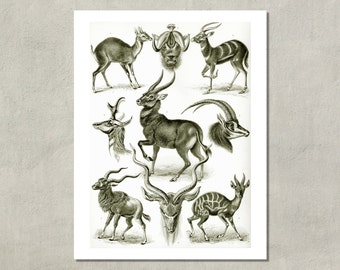 Antilopina (Antelope) Natural History Print, 1904 - 8.5x11 Reproduction Print also available in 11x14 13x19 - see listing details