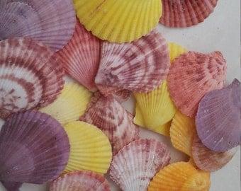 Colorful Pecten Shells (15 pcs)