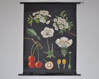 Original Mid Century Botany Print. Cherries. Pull Down School Chart. Jung Koch Quentell. Germany. 1099