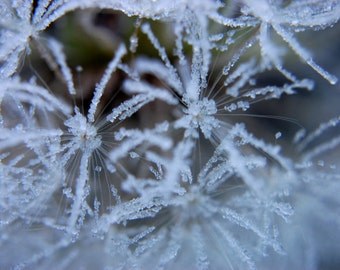 Frozen Dandelion Photography Print