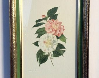 Vintage Framed Camellia Japonica Print