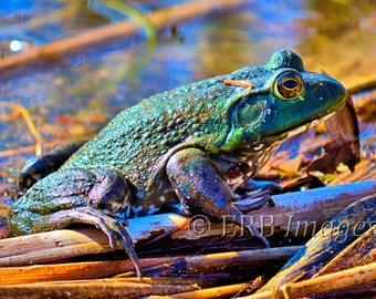 Bull Frog - Fine Art Nature Photography - Home Decor - DIGITAL DOWNLOAD ONLY