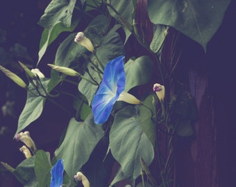 Garden photography, cottage decor, morning glory, romantic, moody, floral decor, flower photography, rustic decor, cottage home, large art