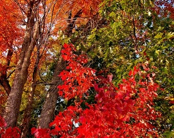 Autumn Photography, Red Autumn Leaves, Fall scene, Four Season Print, Fall Color, Maple Red Leaves Upper Peninsula of Michigan Photography