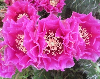 Cold Hardy Prickly Pear Opuntia Cactus, Large Ruffled Rose Colored Flowers, Var Rosenheim!!!