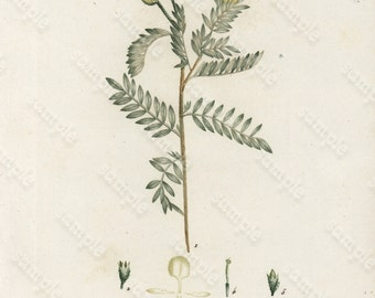 Antique Original  Hand Colored Botanical  Engraving  From JAUME SAINT-HILAIRE  Plantes de la France- Anthyllide Argentee- Gorgeous Rare