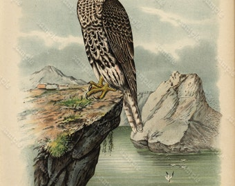 Original Antique  Color Lithograph  Gorgeous Large Folio Of Grey Candadian Falcon  Bird of prey