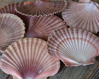 Bulk Seashells, Beach Decor, Shells, Nautical Decor, Beach Wedding Decor, Seashells, Bulk Shells, Mexican Flat Shells- 15 piece