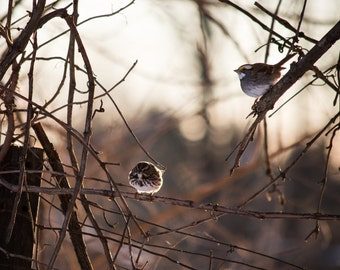 Snow Sparrows - 8x10 photograph