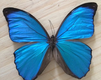 Blue Morpho \\ Real Butterfly \\ Dried Butterfly \\ Taxidermy Butterfly \\ Preserved Butterflies \\ loose butterfly