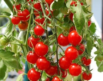 Tomatoes cherry seeds, gardening,52, candy tometoes seeds, non gmo seeds, greek seeds, organic seeds, heirloom seeds, tomato seeds