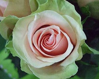 Rose seeds dancing queen,70,white pink green rose,flower roses seed,roses from seeds,planting roses,growing roses from seeds,seeds for roses