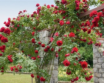 Climbing dark red roses,382, Red rose,roses seeds,planting roses,growing roses from seeds