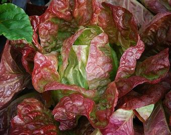Round lettuce maikonig,early season lettuce,lettuce four seasons, organic seeds,lactuca sativa,gardening,416, greek seeds