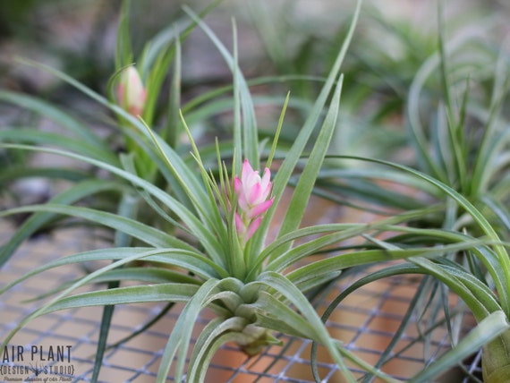 blooming air plants 3 pack free shipping. Black Bedroom Furniture Sets. Home Design Ideas