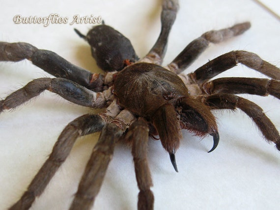 Giant African Spider Hysterocrates G...
