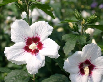 Hibiscus syriacus Red Heart, Rose of Sharon,Bloom summer to Fall,Cold Hardy,Perennial