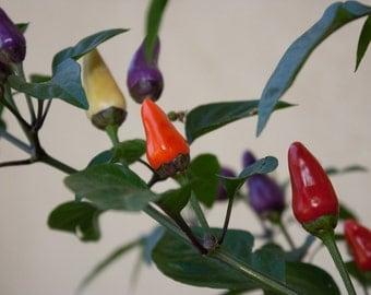 AJI DE JARDIN, Pepper Seeds ,Capsicum annuum , Organically Grown, A very uncommon variety.