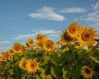 sunflower photo, newbury, sunflower decor, sunflower photo, sunflower photography, sunflower art, flower, flower photo, yellow decor, summer