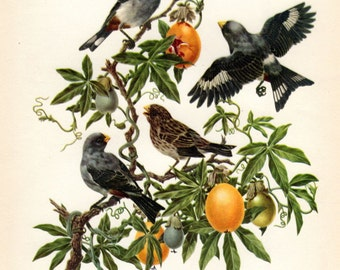 D'Orbigny Seedeater Antique Bird Print Axel Amuchastegui 1959 Vintage Bird Ornithology Nest