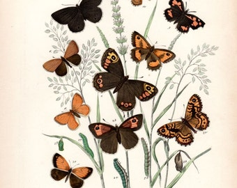 1882 Antique Butterfly Print Kirby Butterflies Natural History Entomology  Entomology  Butterfly Art Vintage Butterfly Print