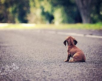 Mini Dachshund Photo Print - Animal Decor - Dog Photography Print - Fine Art Wall Hanging - Living Room Decor - Dog Decor - Puppy Art