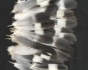 40 Wild English Wood Pigeon Tail and Wing Feathers for Craft Work