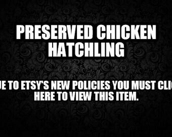 Preserved Baby Chicken/Chick in jar. Wet Specimen