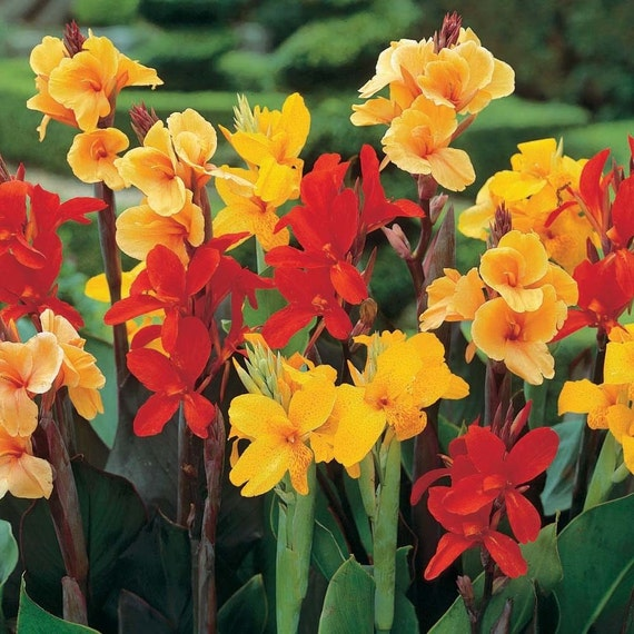 canna lily seeds mixed varieties easy to grow exotic. Black Bedroom Furniture Sets. Home Design Ideas