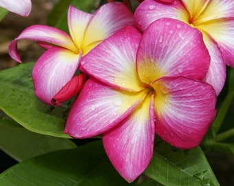 Seedling Plant, Rooted Rare Plumeria Frangipani Plant, Fragrant Pink Flowers, Vienna Rose