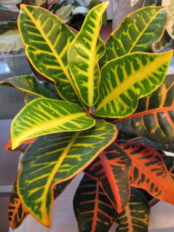 inspiration tropical house plant care. Multi Color Croton Nervia Plant  Large Tropical Houseplant A Great Perfect Indoor from AoJikinKalib on Etsy Studio