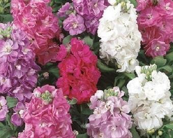 40+ Cinderella Mix Matthiola Stock / Annual Flower Seeds